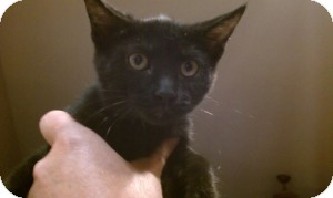 Domestic Shorthair Kitten for Sale in Gilbert, Arizona - Leila