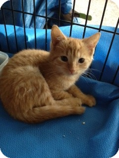 Domestic Shorthair Kitten for Sale in Ft. Lauderdale, Florida - Miss Marmalade