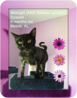 Domestic Shorthair Cat for Sale in Mobile, Alabama - Midnight