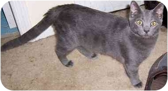 Russian Blue Cat for adoption in Simms, Texas - Devon