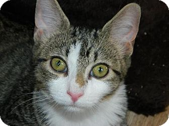 Domestic Shorthair Kitten for adoption in Elizabeth City, North Carolina - Puddin