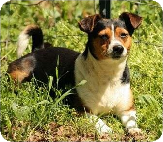 Beagle/Rat Terrier Mix Dog for Sale in Spring Valley, New York - Gizzy