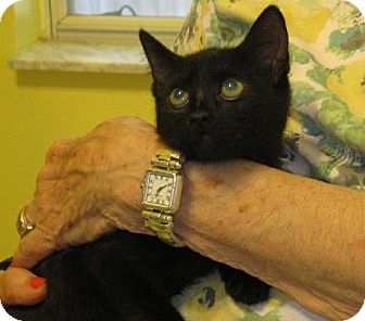 Domestic Shorthair Kitten for adoption in Maitland, Florida - Miss Holly