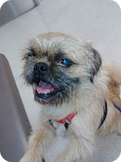 Brussels Griffon Mix Dog for Sale in San Diego, California - Alvin