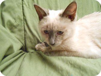 Siamese Kitten for Sale in Fountain Hills, Arizona - SUSHI