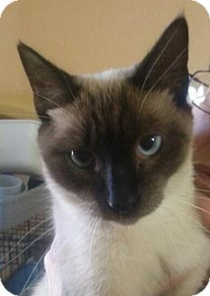 Siamese Cat for Sale in Lantana, Florida - Snowie
