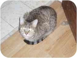 Domestic Mediumhair Cat for adoption in North Boston, New York - Muffin
