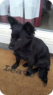 Schipperke/Dachshund Mix Dog for Sale in Boise, Idaho - Lexie