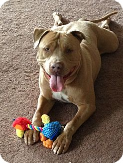 American Pit Bull Terrier Mix Dog for adption in San Diego, California - Butterscotch