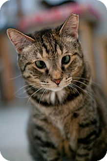 Domestic Shorthair Cat for adoption in Chicago, Illinois - Yelena