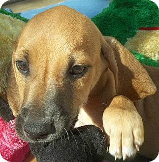 Black and Tan Coonhound/Hound (Unknown Type) Mix Puppy for Sale in Conway, Arkansas - Dakota