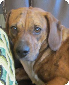 Beagle/Plott Hound Mix Dog for Sale in Lincolnton, North Carolina - Faith
