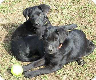 Labrador Retriever Mix Puppy for Sale in Starkville, Mississippi - Elvis