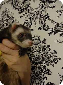 Ferret for Sale in Lighthouse Point, Florida - Rugby