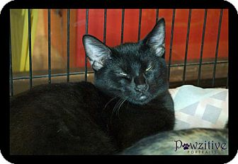 Bombay Kitten for Sale in Scottsdale, Arizona - Panther- courtesy post