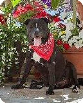 Labrador Retriever Mix Dog for adption in Roy, Washington - Cannon A Loveable Hunk