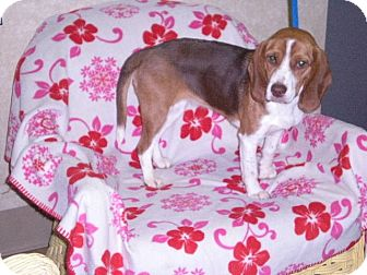 Beagle Dog for Sale in New Castle, Pennsylvania -