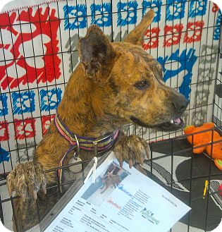 Terrier (Unknown Type, Medium)/Australian Cattle Dog Mix Dog for Sale in Phoenix, Arizona - Stella
