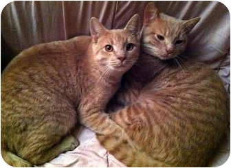 Domestic Mediumhair Cat for Sale in Alexandria, Virginia - Peanut & Mahoney