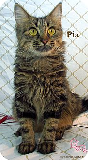 Domestic Longhair Cat for adoption in St Louis, Missouri - Pia
