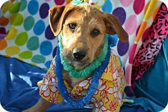 Terrier (Unknown Type, Medium) Mix Puppy for adption in San Diego, California - Rocky
