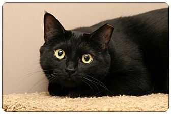 Domestic Shorthair Cat for Sale in Sterling Heights, Michigan - Noir - ADOPTED!
