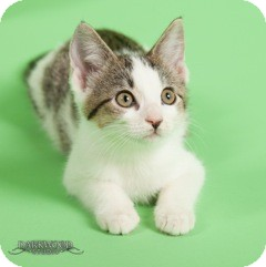 Domestic Shorthair Kitten for Sale in St. Louis, Missouri - May