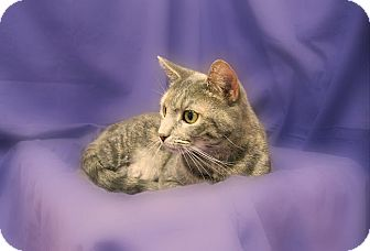 Domestic Shorthair Cat for Sale in Richmond, Virginia - Louise