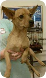 Chihuahua Mix Dog for adption in Tucson, Arizona - Willie