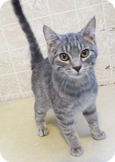 Domestic Shorthair Cat for Sale in Geneseo, Illinois - Eric