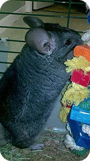 Chinchilla for Sale in Selden, New York - Ami
