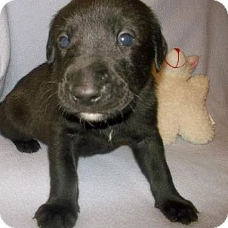 Labrador Retriever Mix Puppy for Sale in Shirley, New York - BEAR
