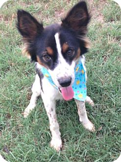 Papillon/Spaniel (Unknown Type) Mix Puppy for Sale in Conway, Arkansas - Jackson