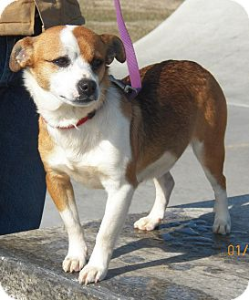 Beagle/Jack Russell Terrier Mix Dog for adption in Sussex, New Jersey - Baby Girl  15 lbs