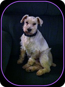 Schnauzer (Miniature)/Westie, West Highland White Terrier Mix Dog for Sale in Indian Trail, North Carolina - Daisy May