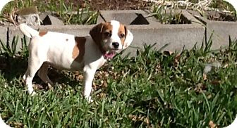 Beagle Puppy for Sale in Houston, Texas - Lalo