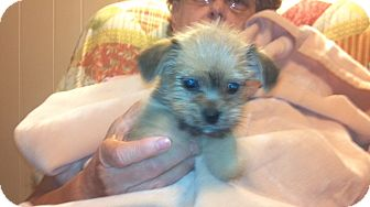Yorkie, Yorkshire Terrier/Brussels Griffon Mix Puppy for Sale in Hazard, Kentucky - Sweetie Bear