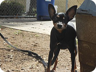 Miniature Pinscher Mix Dog for Sale in Chula Vista, California - Roxi