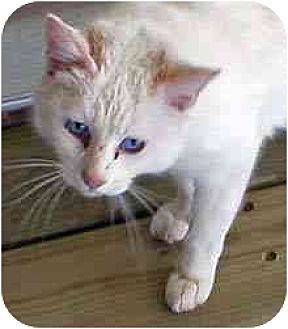 Domestic Shorthair Cat for adoption in Clovis, New Mexico - Glacier