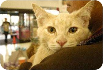 American Shorthair Cat for adoption in Chino, California - GM