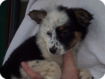 Australian Cattle Dog/Border Collie Mix Puppy for Sale in Germantown, Maryland - Elza