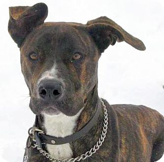 Boxer/Great Dane Mix Dog for adption in Lisbon, Ohio - Wendy