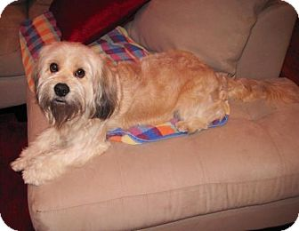 Tibetan Terrier Mix Dog for Sale in Houston, Texas - Doogie