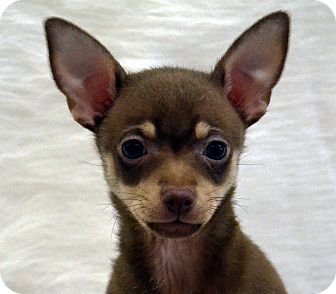 Chihuahua Mix Puppy for Sale in Bridgeton, Missouri - McCartney