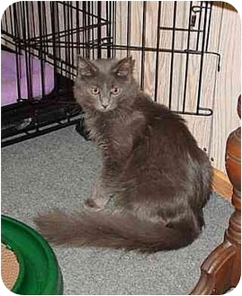 Domestic Mediumhair Cat for adoption in Bartlett, Illinois - Jeremy