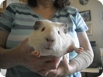 Guinea Pig for Sale in johnson creek, Wisconsin - festus