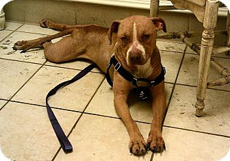 American Pit Bull Terrier Mix Dog for adption in Nashua, New Hampshire - Nathalie