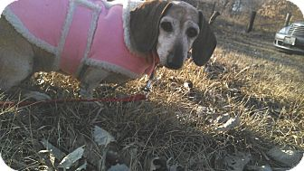 Dachshund Dog for Sale in Geneseo, Illinois - Molly