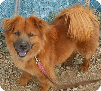Chow Chow/Corgi Mix Dog for Sale in dewey, Arizona - Angel