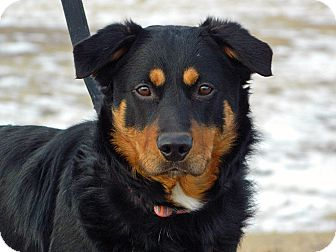 Shepherd (Unknown Type)/Rottweiler Mix Dog for Sale in Cheyenne, Wyoming - Isaih